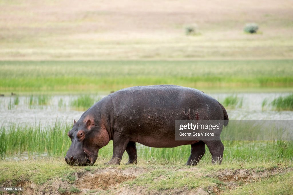 Hippopotamus : Stock-Foto