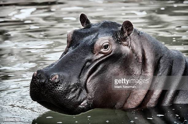 Hippopotamus portrait