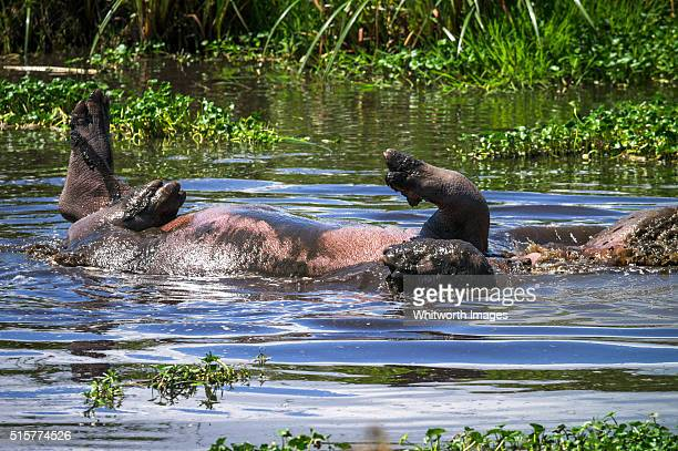 Hippopotamus rolling in pond, Ngorongoro Crater, Tanzania