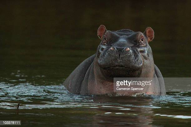 A hippopotamus sits in the Limpopo river at the Pafuri game reserve on July 22 2010 in Kruger National Park South Africa Kruger National Park is one...