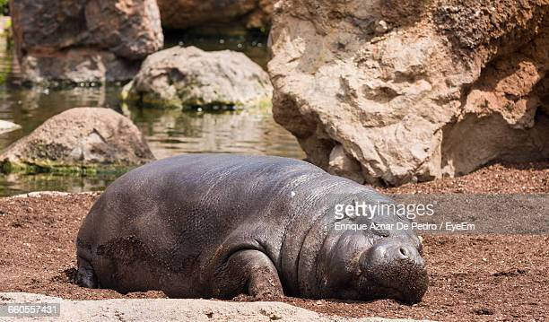 Hippopotamus Sleeping On Field By Lake