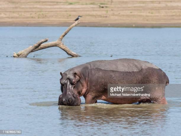 hippopotamus (hippopotamus amphibius), south luangwa national park, zambia, africa - south luangwa national park stock pictures, royalty-free photos & images