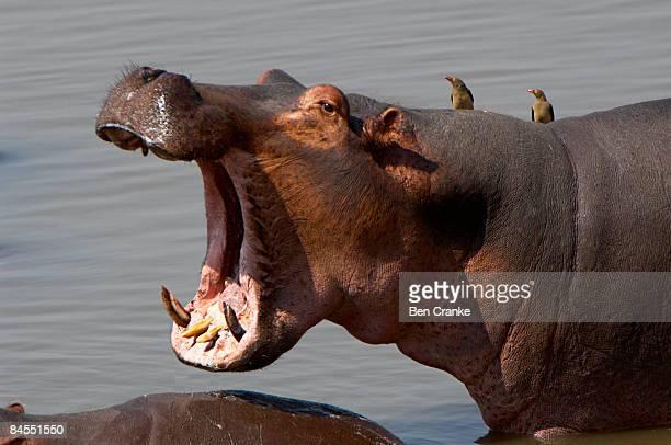 hippopotamus, south luangwa national park, zambia - south luangwa national park stock pictures, royalty-free photos & images