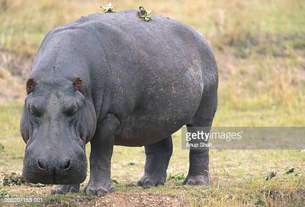 Hippopotamus (Hippoptamus amphibius) standing, Masai Mara N.R, Kenya