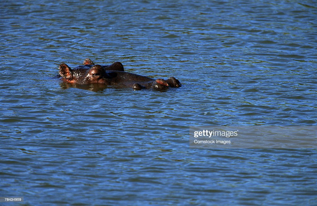 Hippopotamus submerged in water , Kenya , Africa : Stockfoto