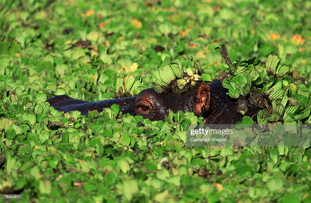 Hippopotamus submerged , Kenya , Africa : Stockfoto