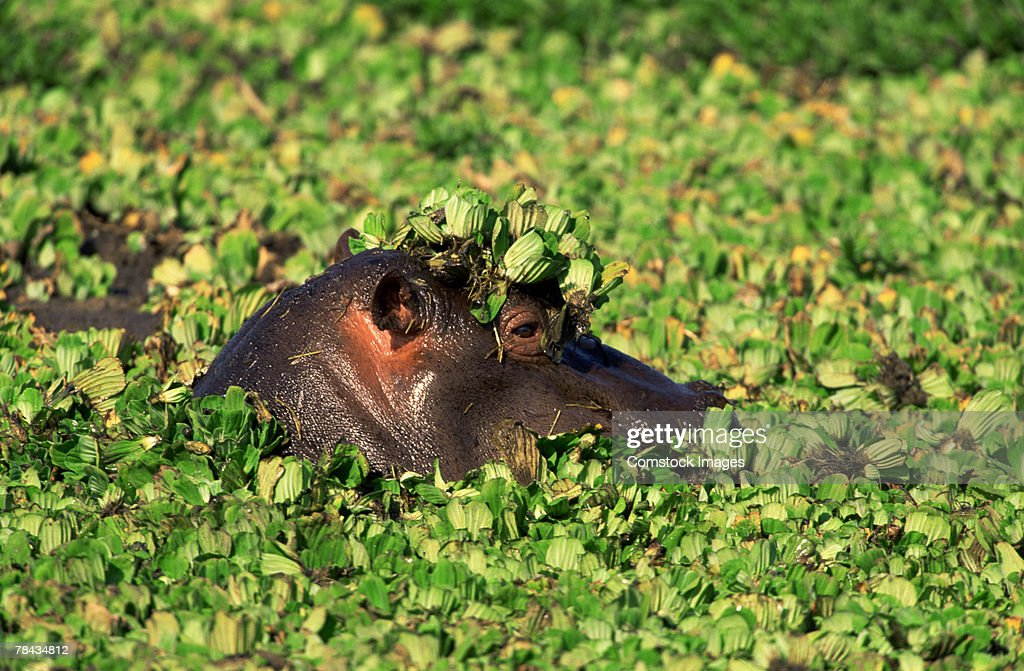 Hippopotamus surfacing , Kenya , Africa : Stockfoto