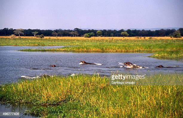 Hippopotamus swimming in Liwonde National Park