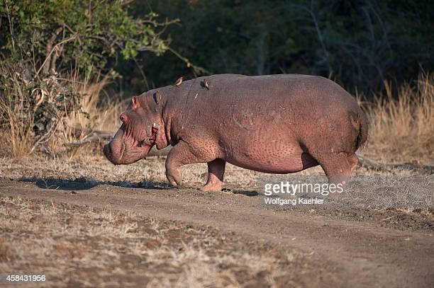 Hippopotamus walking on land in South Luangwa National Park in eastern Zambia