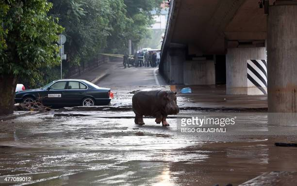A hippopotamus walks across a flooded street in Tbilisi on June 14 2015 Tigers lions jaguars bears and wolves escaped on June 14 from flooded zoo...