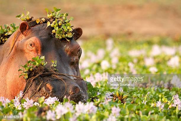Hippopotamus wallowing amongst flowers in lake
