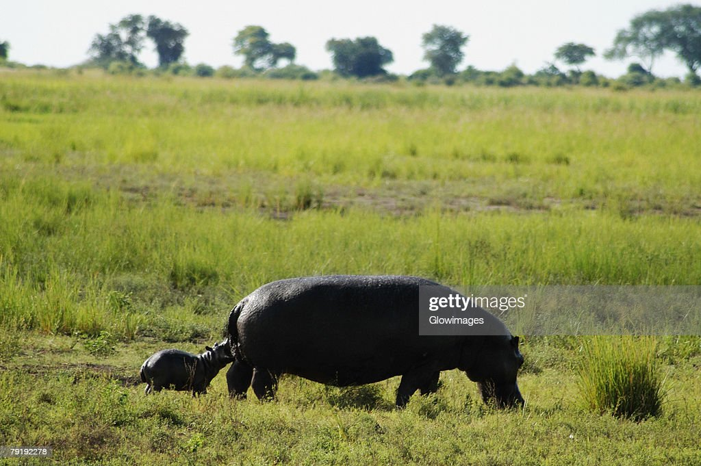 Hippopotamus (Hippopotamus amphibius) with its calf grazing in a forest, Chobe National Park, Botswana : Foto de stock