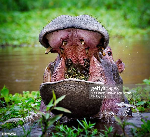 Hippopotamus with Mouth Full of Grass