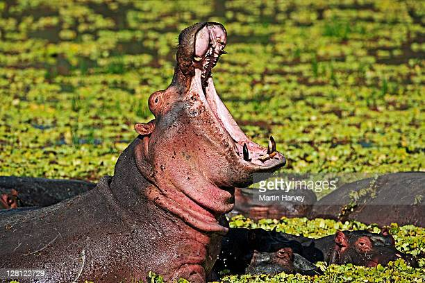 Hippopotamus (Hippopotamus amphibius) with mouth open in aggressive warning posture. In amongst water lettuce (Pistia stratiotes) Luangwa National Park. Zambia