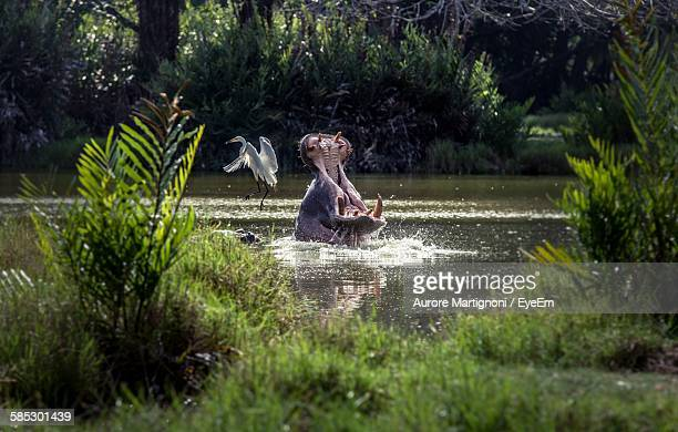 Hippopotamus With Mouth Open In Lake