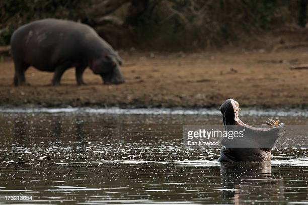 Hippopotamus yawns in Krugar National Park on July 8 2013 in Lower Sabie South Africa The Kruger National Park was established in 1898 and is South...