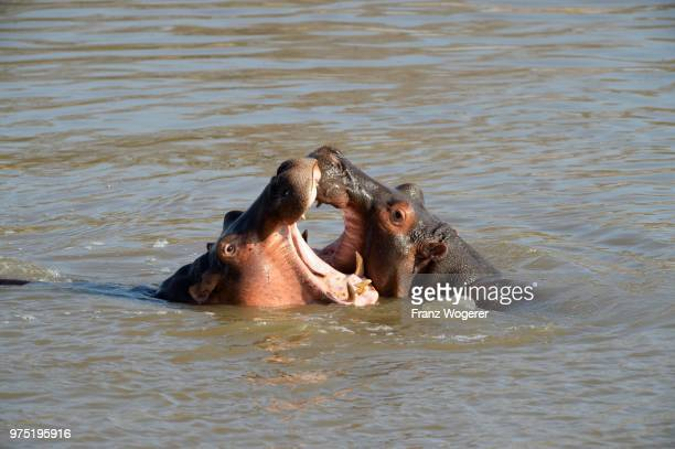 hippopotamuses (hippopotamus amphibicus), females, fighting, with open mouth, luangwa river, south luangwa national park, zambia - south luangwa national park stock pictures, royalty-free photos & images