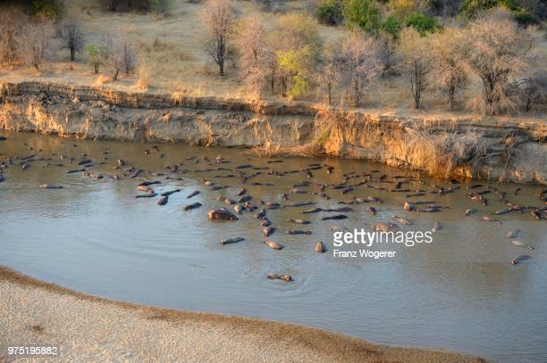 hippopotamuses (hippopotamus amphibicus) in shallow water, in front of steep shore, morning light, aerial view, luangwa river, south luangwa national park, zambia - south luangwa national park stock pictures, royalty-free photos & images