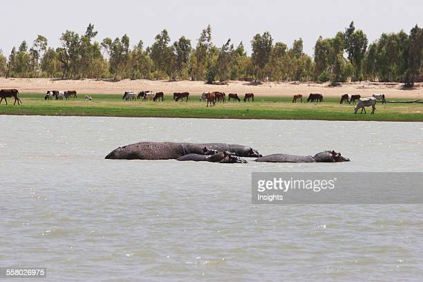 Hippopotamuses In The Niger River Between Sebi And Niafunke Mali