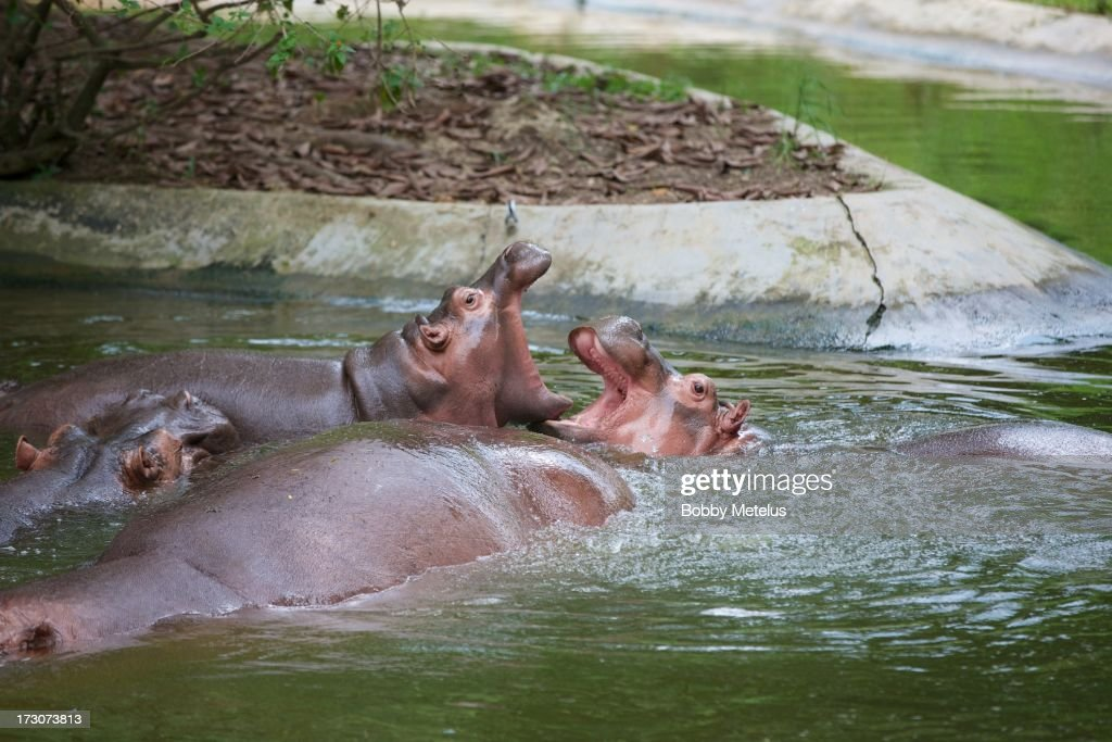 Hippopotamuses play fight in the water at Chimelong Safari Park on July 6, 2013 in Guangzhou, China.