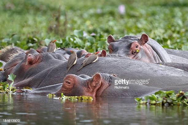 Hippos and Oxpecker Birds in Lake Naivasha