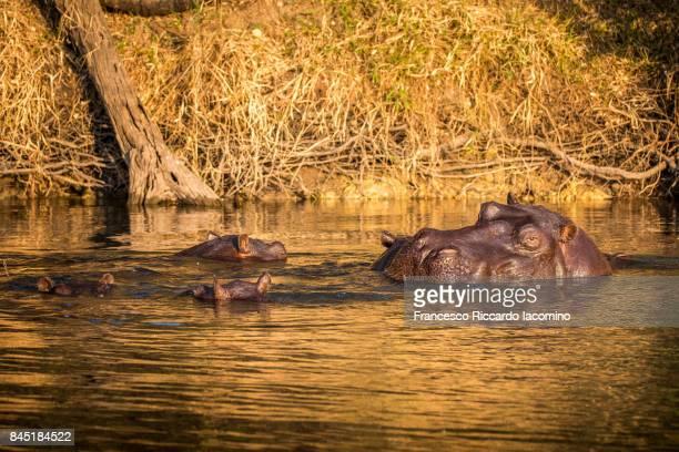 Hippos at the Okavango Delta, Caprivi Strip, Namibia