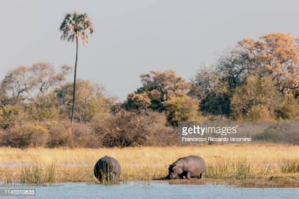 hippos at the okavango delta - iacomino botswana foto e immagini stock