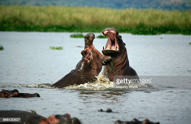 Hippos fighting in the Nile River Murchison Falls National Park Uganda