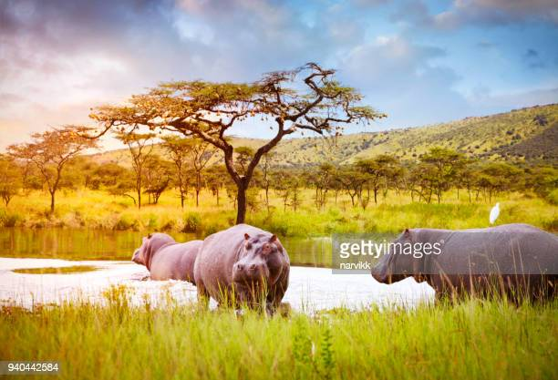hippos in akagera national park - safari animals stock pictures, royalty-free photos & images