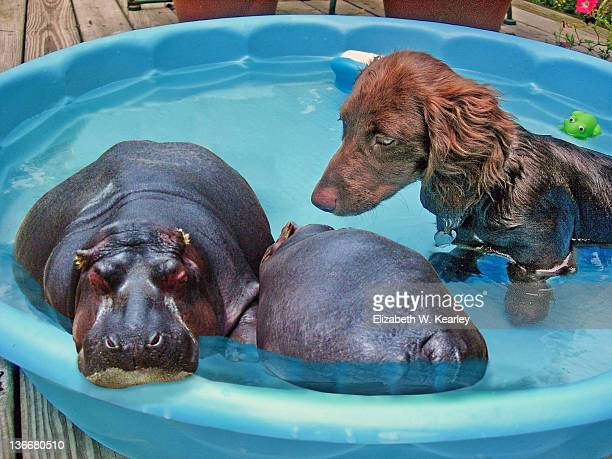 Hippos in pool with puppy