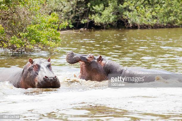 Hippos in water under African Sun