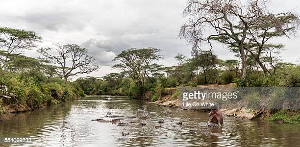 Hippos mating in river, Serengeti
