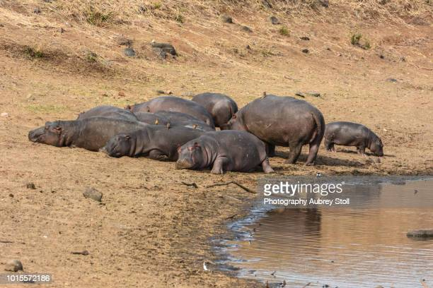 hippos relaxing - waterhole stock pictures, royalty-free photos & images