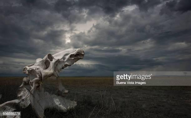 A hippo's skull in the savannah under a cloudy sky