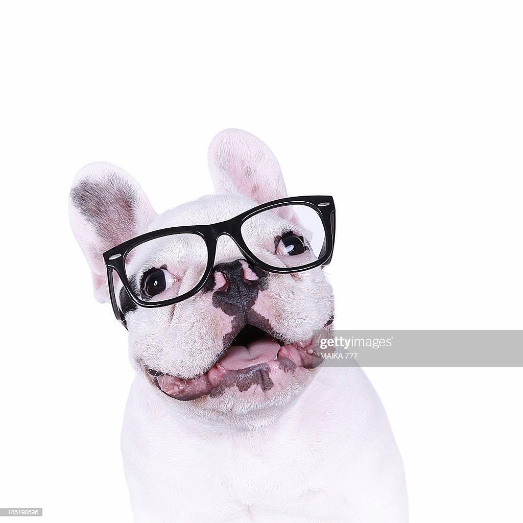 Hipster bulldog : Stock Photo