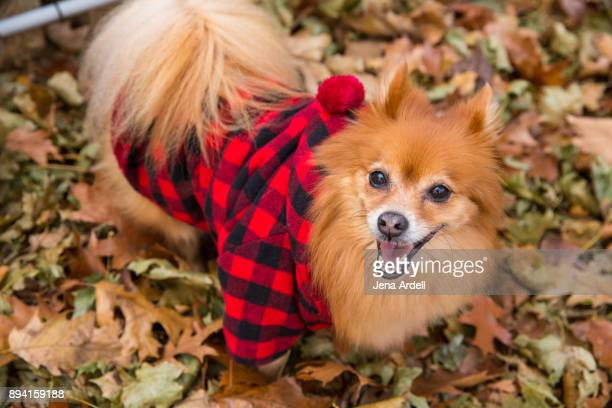 hipster dog wearing red flannel shirt - pomeranian stock photos and pictures