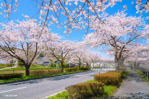 hiraizumi cherry blossom tunnel - iwate prefecture stock pictures, royalty-free photos & images
