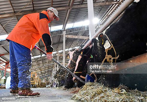 Hiroaki Hiruta feeds his cows at his dairy farm on January 24 2017 in Naraha Fukushima Japan About 400 liters of unpasteurized milk were collected...