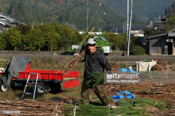 Hironobu Asada representative of Nagomi Farm gathers bundles of freshly harvested three-year-old Wakamatsu trees in a field prior to them being...
