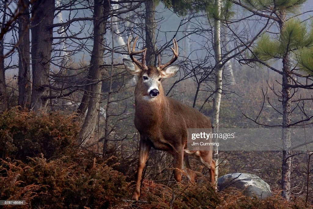 His Majesty - White-tailed deer : Foto de stock