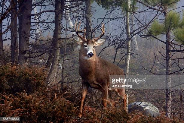 His Majesty - White-tailed deer