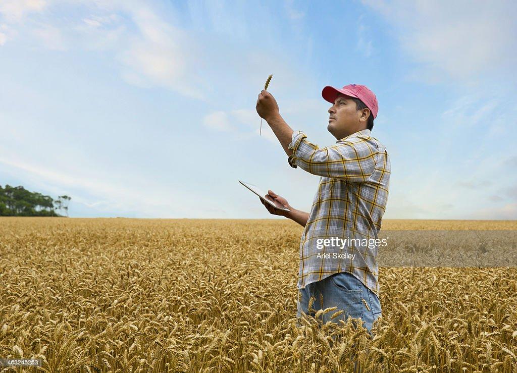 Hispanic farmer examining wheat stalk in field : Stock Photo