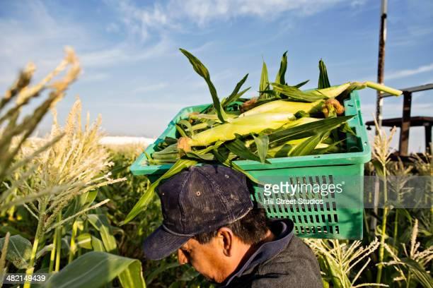 Hispanic farmworkers picking corn in field