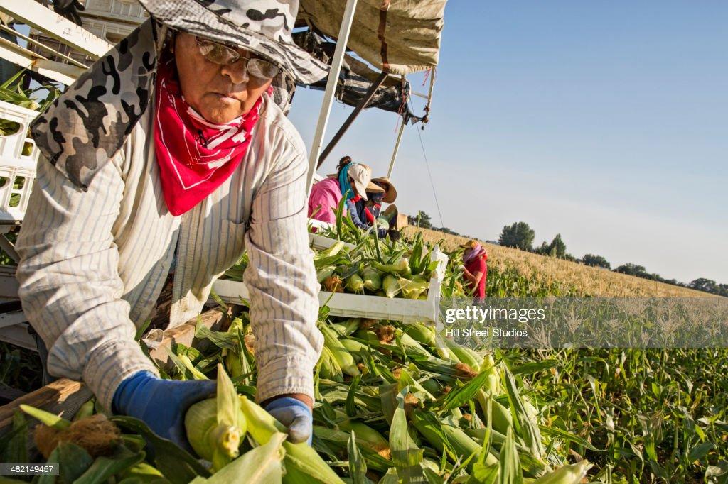 Hispanic farmworkers picking corn in field : Stock Photo