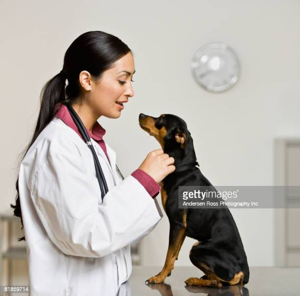 hispanic female veterinarian petting dog - animal hospital stock pictures, royalty-free photos & images