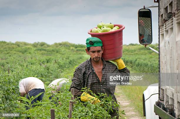hispanic immigrant in us harvest - migrant worker stock pictures, royalty-free photos & images