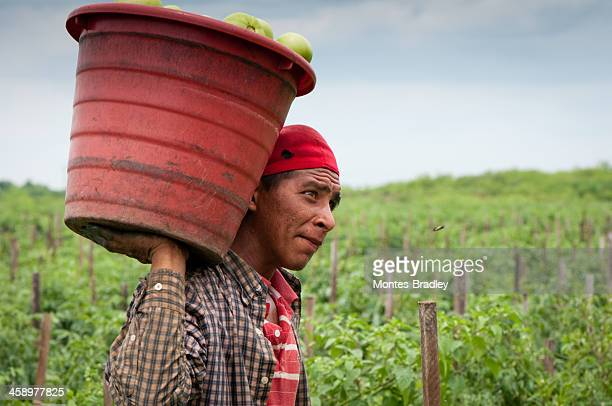 hispanic immigrant in us harvest - migrant worker stock photos and pictures