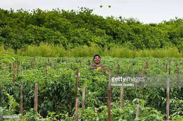 hispanic immigrant joggling tomatoes - migrant worker stock photos and pictures