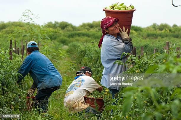 hispanic woman in us harvest - migrant worker stock pictures, royalty-free photos & images