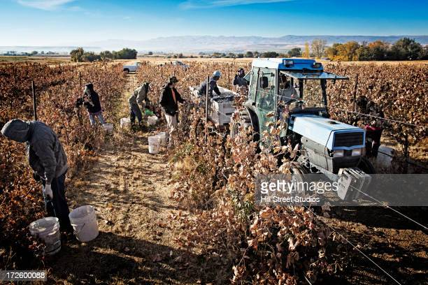Hispanic worker harvesting grapes in field